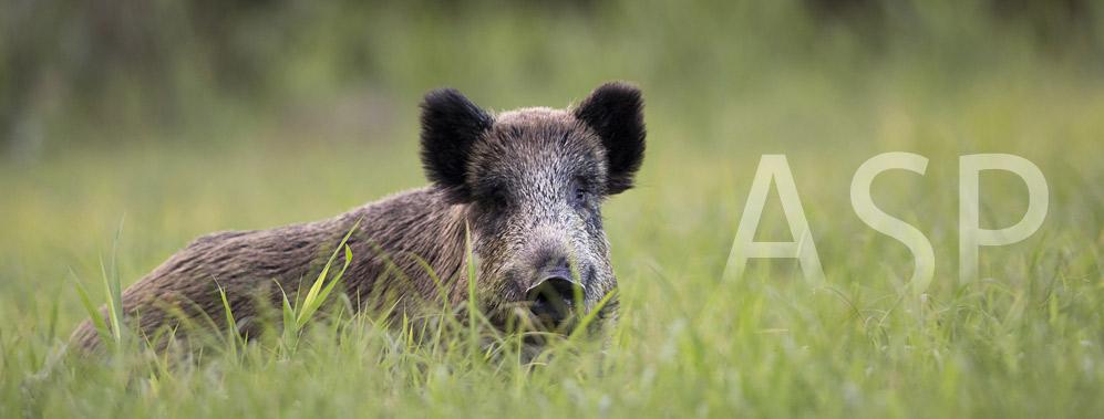 Informationen zur Afrikanischen Schweinepest (ASP)