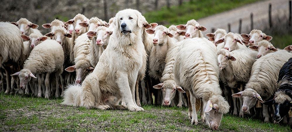Das Bild zeigt einen Herdenschutzhund und eine Schafherde